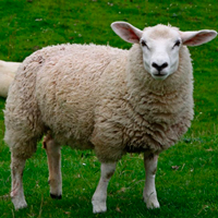 овечья шерсть, пряжа